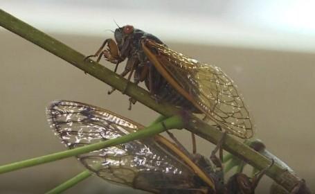 Un profesor face mâncare din insecte. Cicadele sunt preferatele sale