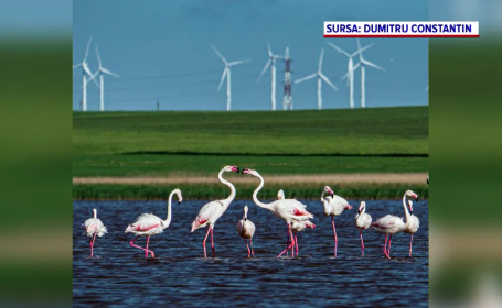 Păsările flamingo au fugit din România, alungate de turiști. Oamenii le hăituiau cu drone pentru poze