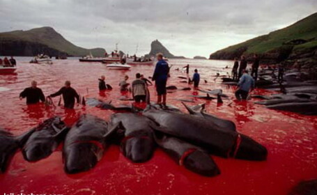 Imagini socante in Feroe la o vanatoare de balene!