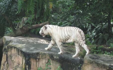 Barbat mancat de viu la Gradina Zoologica din Singapore!
