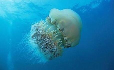 meduze Nomura