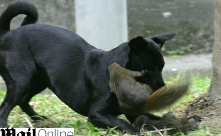 IMAGINI INCREDIBILE! O veverita isi salveaza puiul de atacul unui caine!