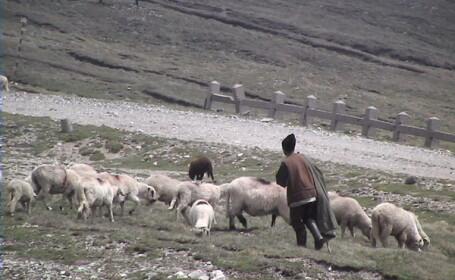 A incercat sa isi salveze oile, dar a murit el in locul lor