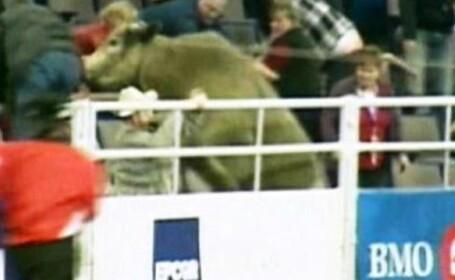 Patru persoane ranite de un taur de 600 kg, la un rodeo din Canada. Video