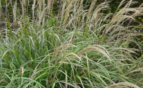 Mischantus, planta care poate revolutiona sistemele de incalzire