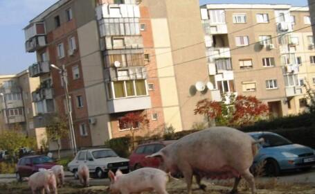 porci in cartier arad
