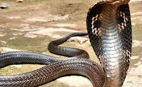 Trafic cu cobre in Thailanda. 600 de serpi urmau sa fie vanduti pentru piele si delicatese