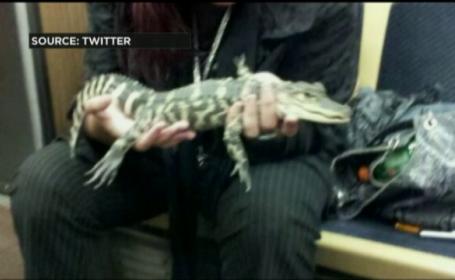 aligator chicago