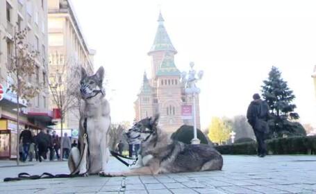 lupi, Timisoara