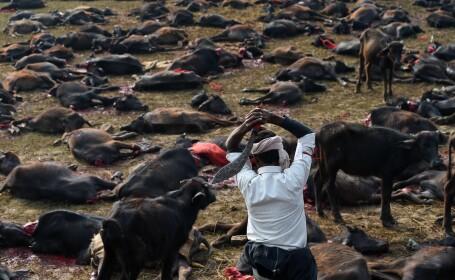 Peste 5000 de bivoli au fost ucisi in Nepal in timpul festivalului Gadhimai. Imagini cu impact emotional puternic