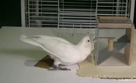 papagal ingenios