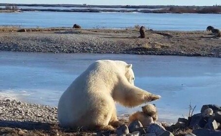 caine mangaiat pe cap de un urs polar