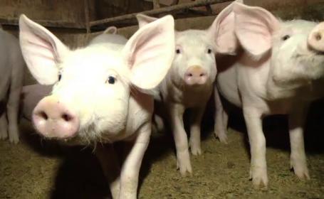 Cei mai cautati porci in acest an pentru masa sa Craciun. Preturile ajung si la 15 lei pentru animalele in viu