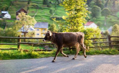 vitel pe drum