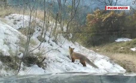 Vulpi, filmate în apropierea gospodăriilor din Brașov