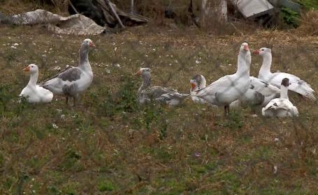 Un nou focar de gripă aviară, depistat la o fermă de păsări din Maramureş