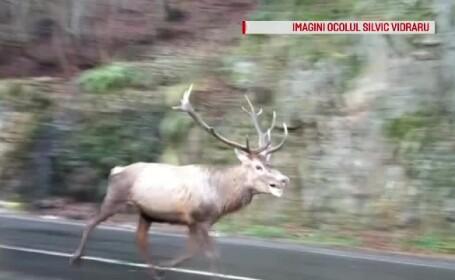 Un cerb epuizat și încolțit de o haită de câini sălbatici, surprins pe Transfăgărășan