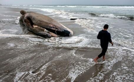 balena moarta
