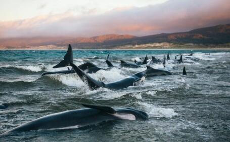 balene, noua zeelanda, moarte, plaja,