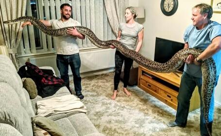 A cumpărat un șarpe de câțiva cm, dar s-a trezit în casă cu cel mai mare piton din lume