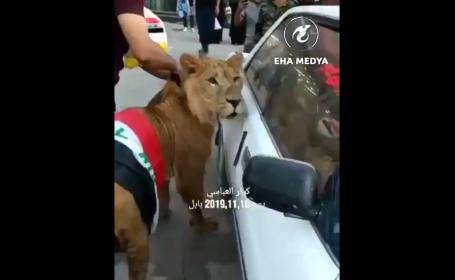 Motivul pentru care un bărbat a mers la proteste însoțit de un leu feroce | VIDEO