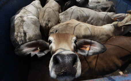 export animale vii