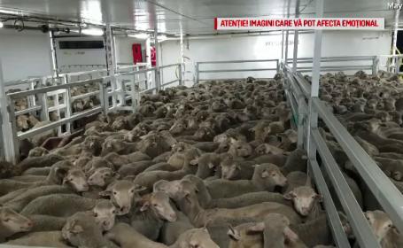 Reacție dură a CE după moartea celor 14.000 de oi. \