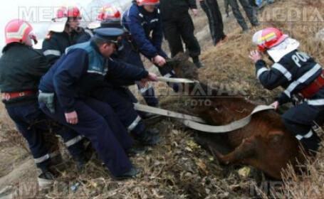 Autoritatile incearca sa ia animalul de pe camp