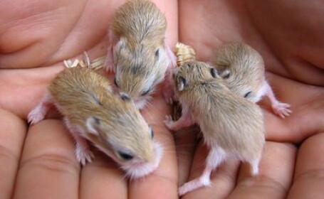 hamster, pericol pentru sanatatea copiilor