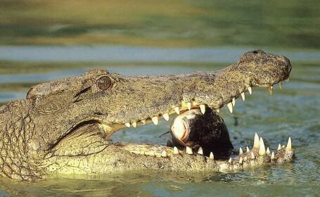 Baietel de cinci ani inghitit de un crocodil in Australia!