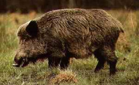 Controale la fermele din Timis dupa ce doi mistreti din Lituania a fost infestati cu pesta porcina africana