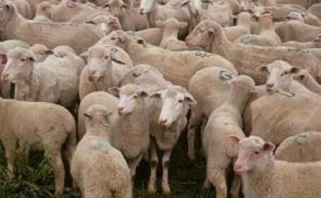 Zeci de oi macelarite