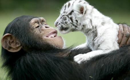 Un cimpanzeu este mama adoptiva a doi pui de tigru!