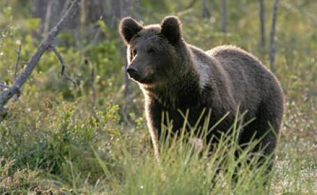 La vanatoare de ursi cu GPS-ul pe caine