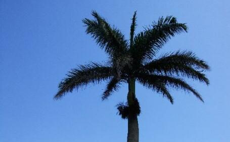 S-a catarat intr-un palmier pentru a-l curata si acolo a ramas...
