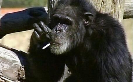 Charlie, cimpanzeul fumator, a murit la 52 de ani