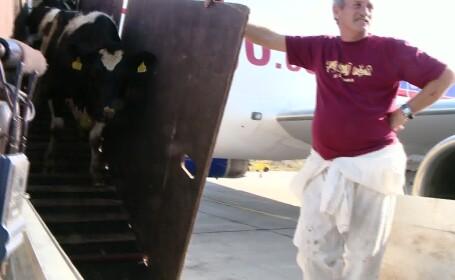 Premiera pentru aeroporturile din Romania: 70 de vacute au aterizat la Timisoara VIDEO
