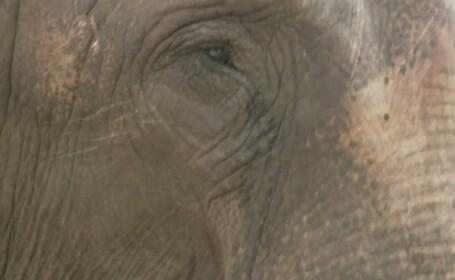 lacrimi elefant