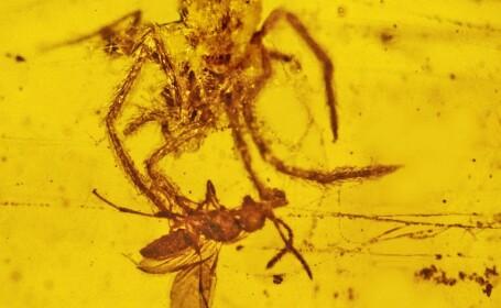 paianjen si viespe in rasina fosilizata, chihlimbar