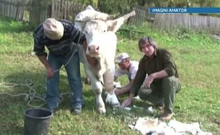 vaca ghips