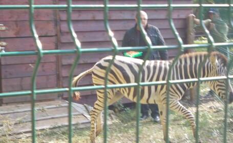 Zebra de la Zoo Timisoara a evadat din nou si a murit inecata. Cum s-a intamplat nenorocirea