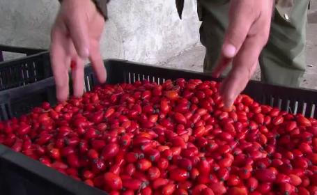 Comoara din padure. Cum au invatat romanii sa castige sute de mii de euro exportand fructe de padure