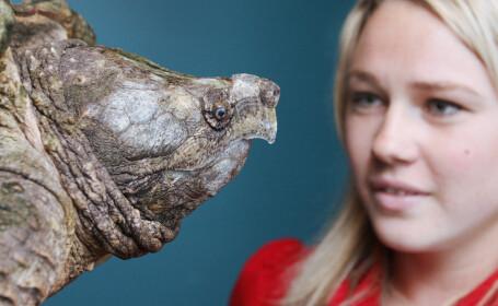 O testoasa aligator a fost descoperita in lacul de acumulare din Oregon