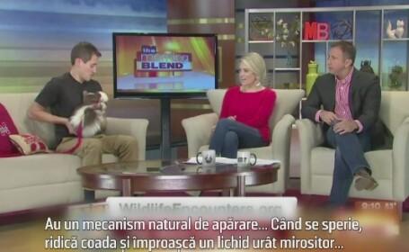Farsa care i-a speriat pe prezentatorii unei emisiuni matinale. Cum a ajuns un sconcs pe platoul de filmare