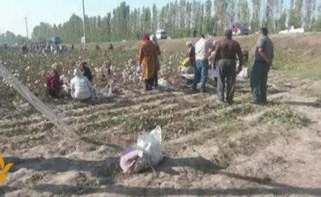 Locuitorii unui sat din Uzbekistan, obligati sa lipeasca la loc bumbacul abia cules de pe camp. Care este motivul