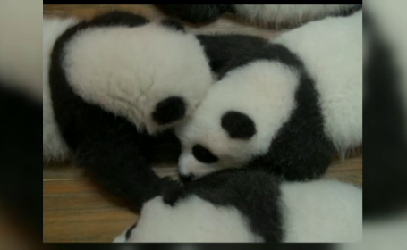 Sase perechi de ursi panda gemeni s-au nascut in China in ultimele 4 luni. Imaginile impresionante surprinse la ZOO