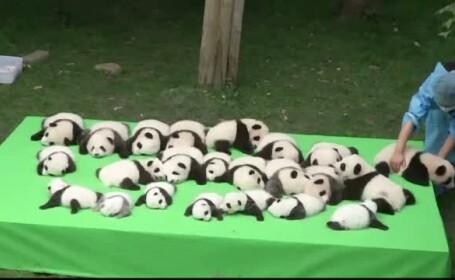 23 de pui de urs panda au cucerit vizitatorii de la o gradina zoologica. Unii dintre ei au doar o luna de viata