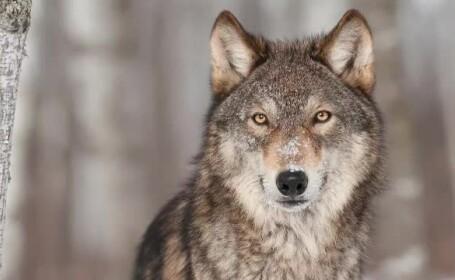 Ordinul care permitea vanarea a 1700 de ursi si lupi, retras dupa reportajul ProTV. Doar SUAS va mai putea impusca animale