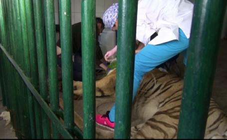 Tigru siberian, operat direct in cusca sa de la Gradina Zoologica din Galati. Aventura de care au avut parte medicii