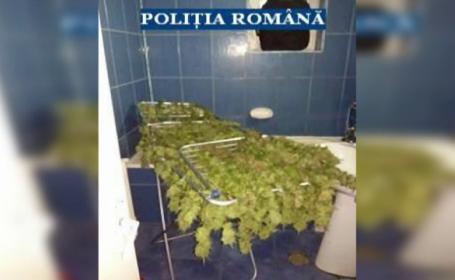 Sapte kg de cannabis au ridicat politistii din casa unui barbat din Baia Mare. De cati ani cultiva droguri in apartament